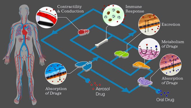 organs-on-a-chip-wyss-institute-3