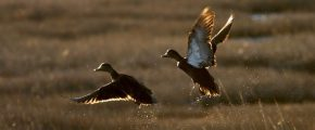 Black Ducks (US Fish & Wildlife Service)
