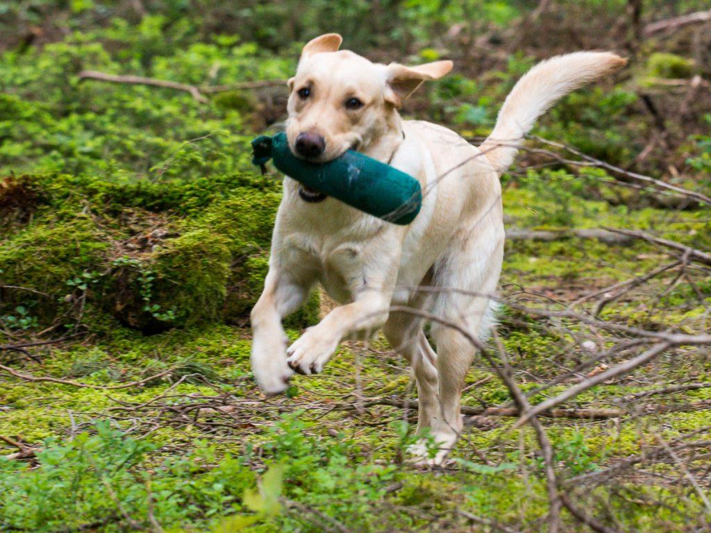 Labrador retriever - creative commons by Sarobaxana via Wikipedia