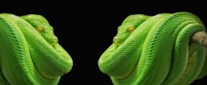 green python snakes facing each other